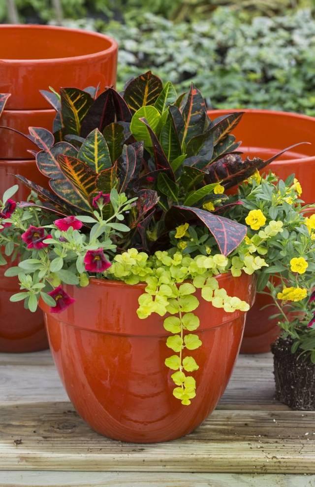 Croton de la vaste famille des Euphorbia