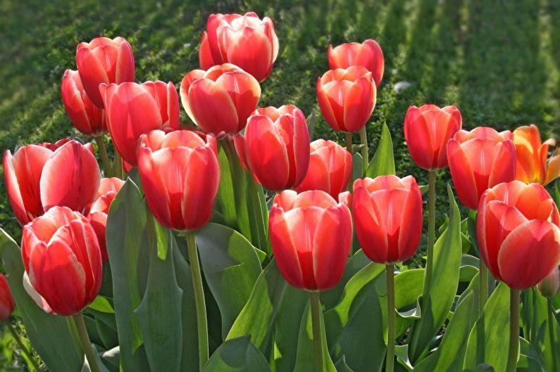 Tulipes - Que planter dans le pays