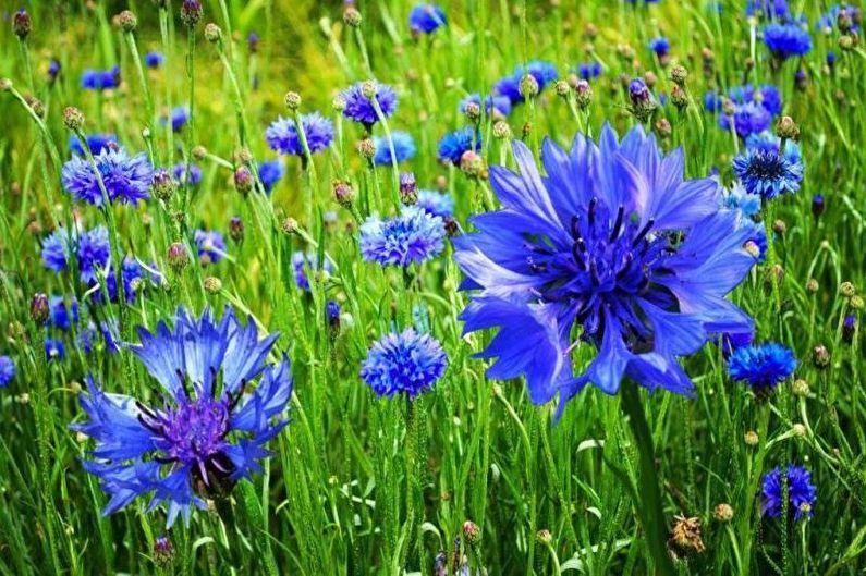 Bleuets vivaces - Que planter à la campagne