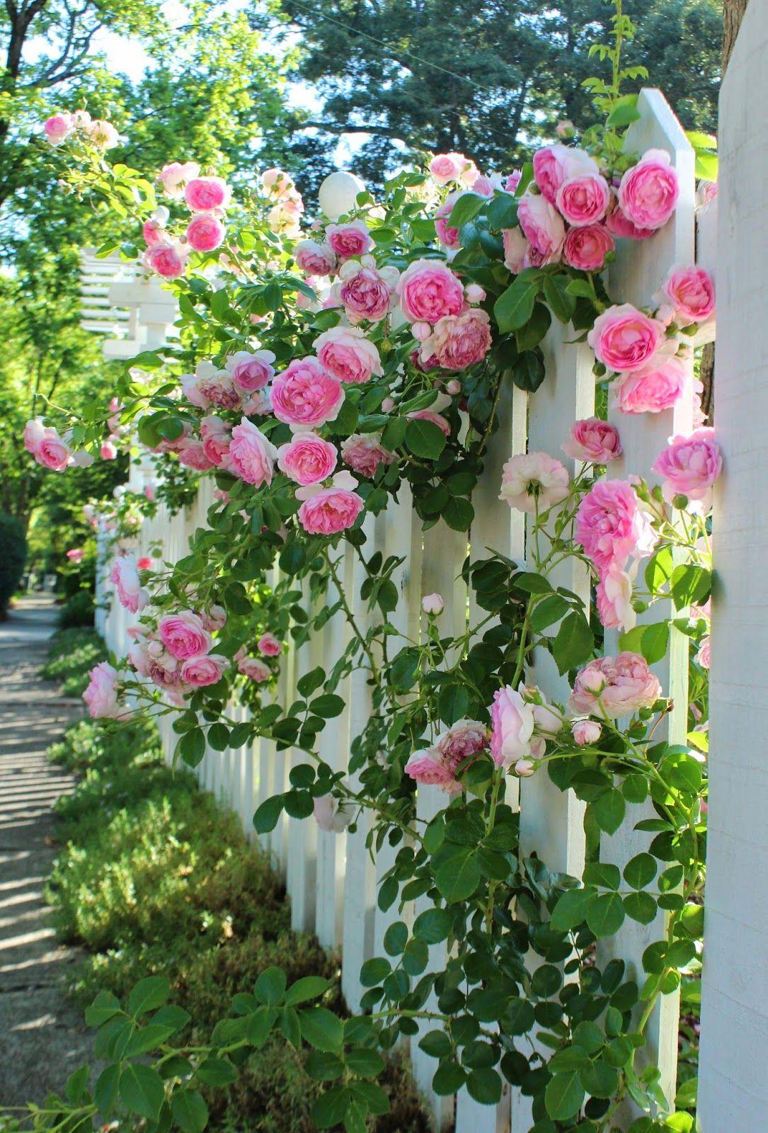 Une rose frisée décore la clôture et, à son tour, sert de support à la plante