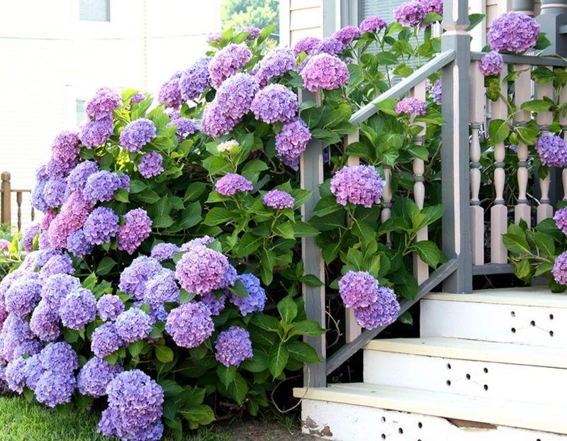 Un parterre d'hortensias lilas chics