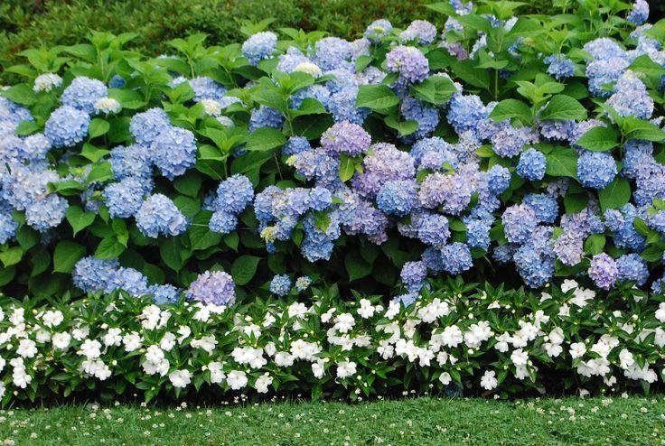 Délicate combinaison d'hortensia bleu et de baume blanc
