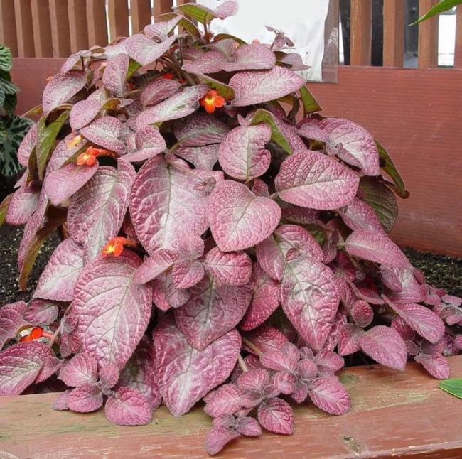 Episation avec ses magnifiques feuilles
