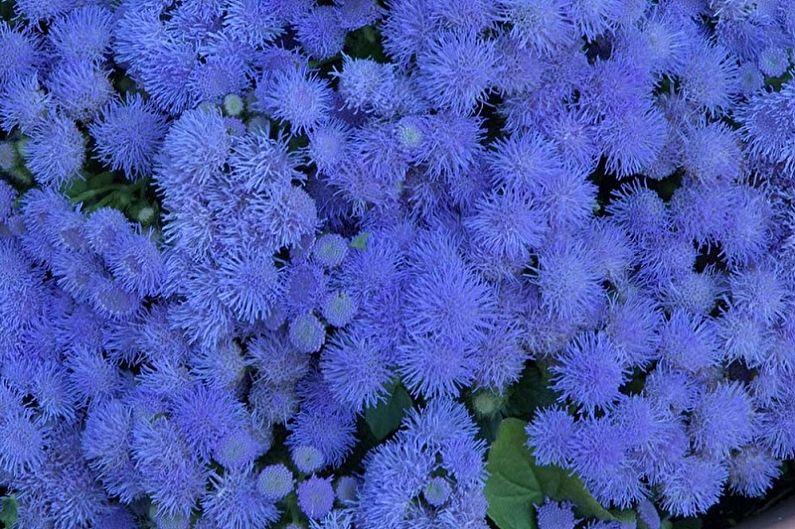 Ageratum - Bouquet bleu