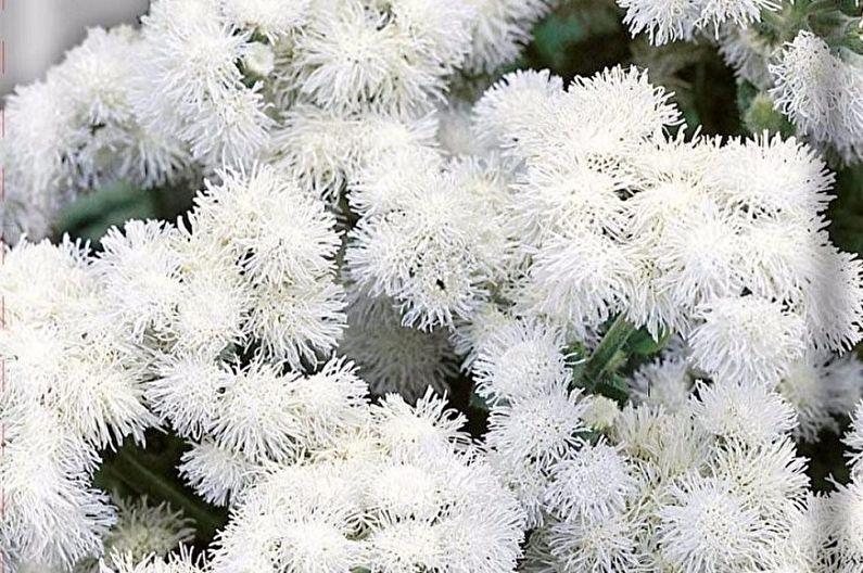 Ageratum - Boule blanche