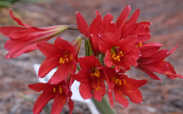 Rhodophie en fleurs