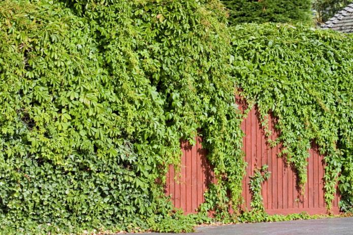 lierre sur une clôture en fer