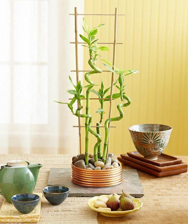 Le bambou d'intérieur est une plante exotique qui a un look original et attrayant