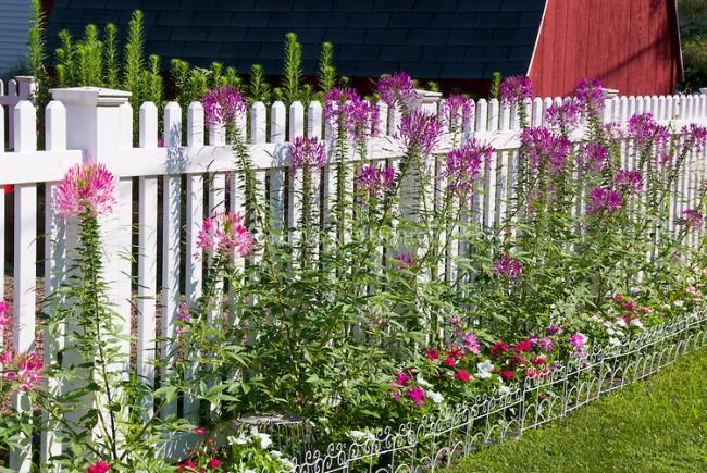 Clôture pour les parterres de fleurs de vos propres mains.  Clôture décorative en métal peint sur un parterre de fleurs annuelles le long de la clôture du jardin