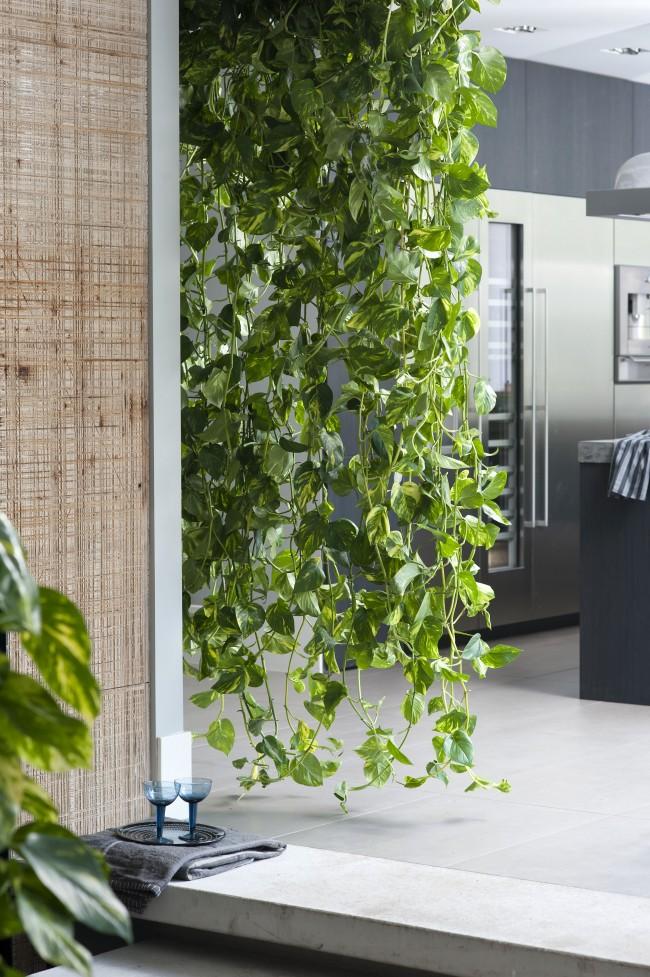 Les plantes d'intérieur grimpantes complètent parfaitement l'intérieur, décorant les murs et égayant les coins vides