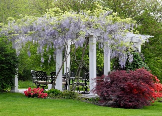 Des cascades panachées de lianes en fleurs sont souvent utilisées pour décorer des clôtures, des arches et des belvédères.
