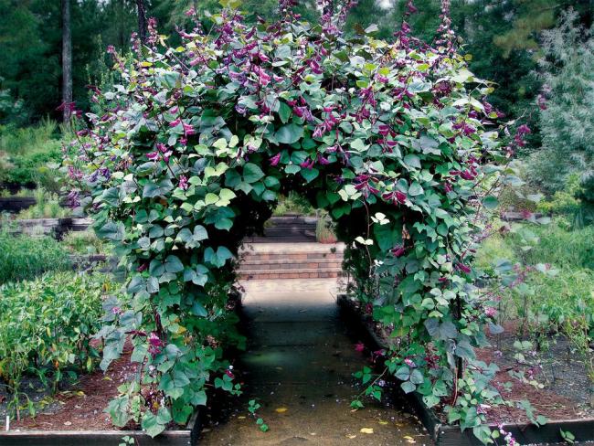 Dolichos est une plante de tissage dense avec une floraison lumineuse