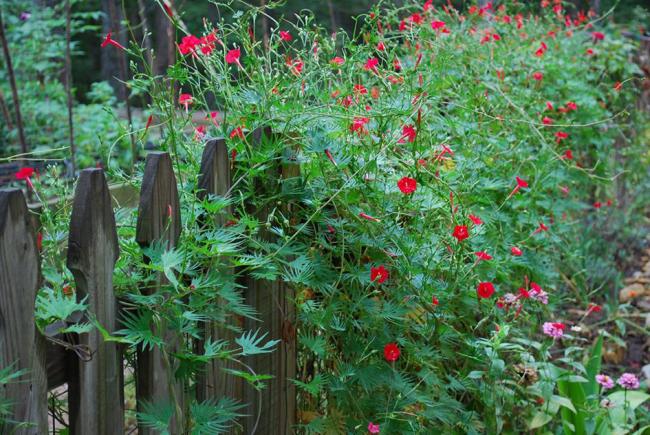 La gloire du matin kvamoklit est une plante annuelle luxuriante qui s'effiloche tout au long de la clôture en deux mois