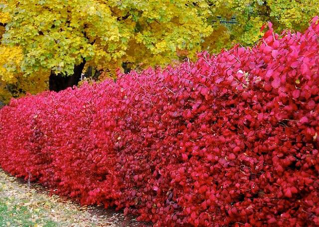 Haie d'épine-vinette pittoresque en automne
