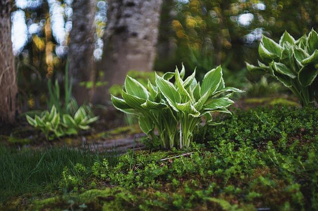 L'hosta aux cheveux bouclés deviendra une véritable décoration de jardin