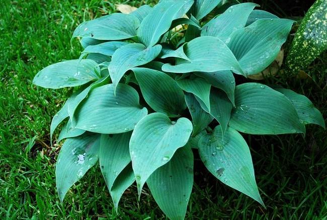 Hosta high a de belles feuilles vert foncé