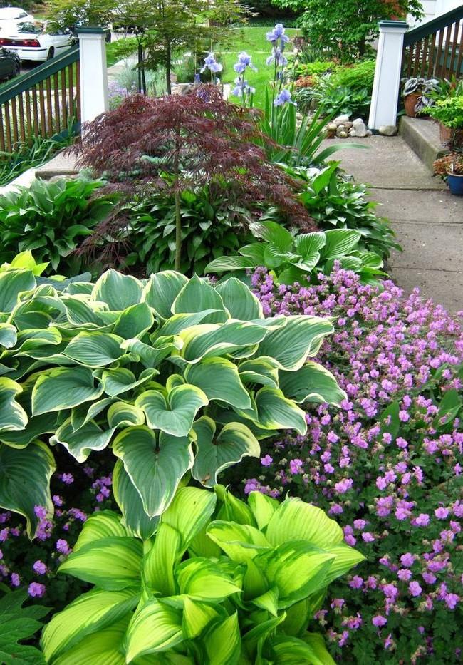 Les grandes feuilles d'hosta ont une grande variété de couleurs.