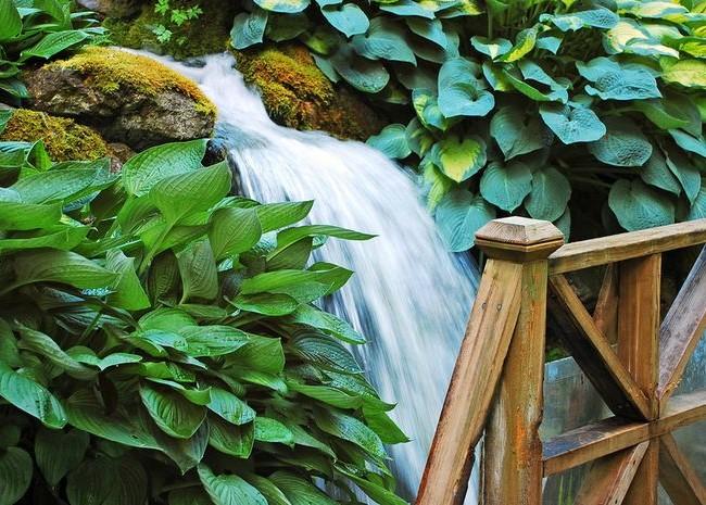 En raison de sa beauté, l'hosta est largement utilisé dans l'aménagement paysager.