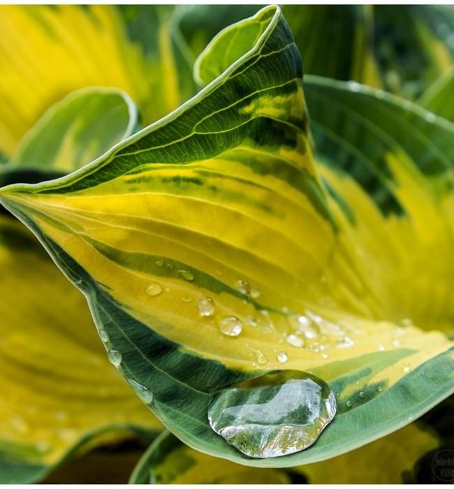 Hosta est une plante dont les feuilles semblent plus attrayantes que les inflorescences
