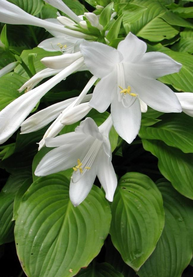 Fleurs d'hosta blanches parfaites