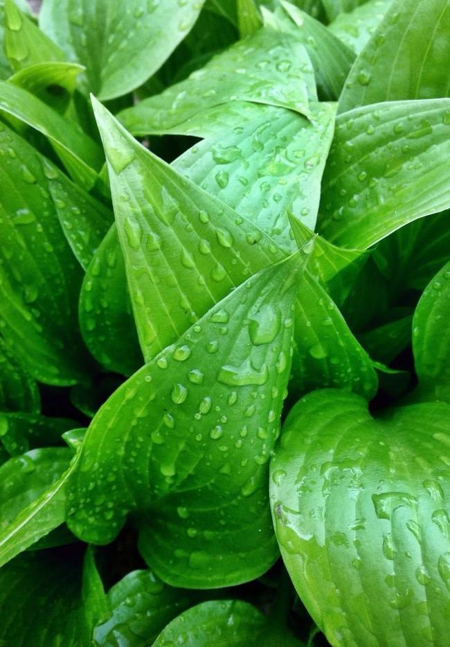 L'hôte gonflé a des feuilles pointues brillantes