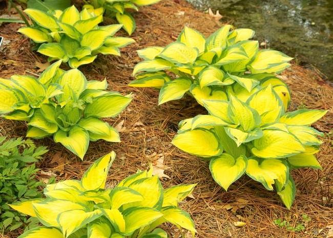 L'hosta jaune rendra votre jardin lumineux et extraordinaire