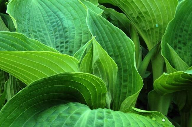 Hosta green a une large gamme de nuances