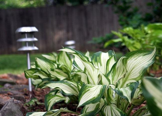 Hosta variegata pousse très vite