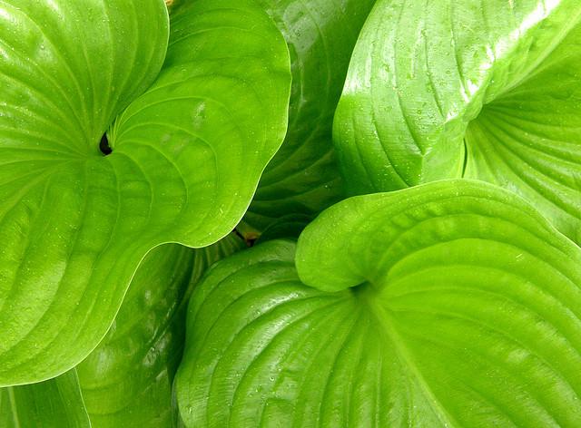 Hosta plantain grandiflora