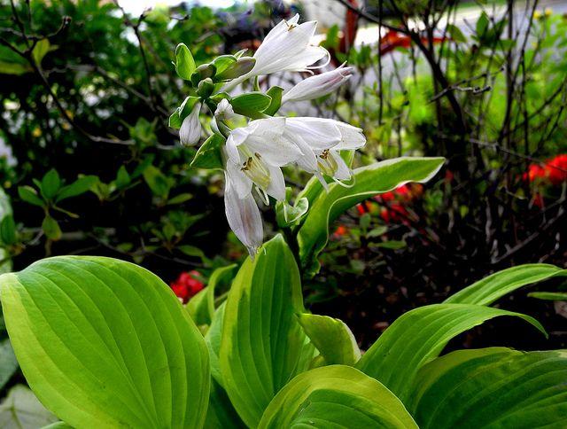Une plante sans prétention et très belle - l'hosta est idéal pour une parcelle de jardin