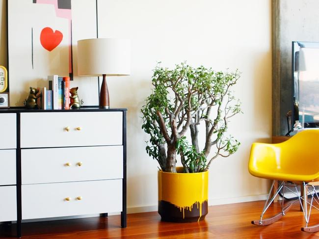 L'arbre à argent est une plante d'intérieur assez familière et très traditionnelle, mais dans tout intérieur moderne, il plaît à l'œil.