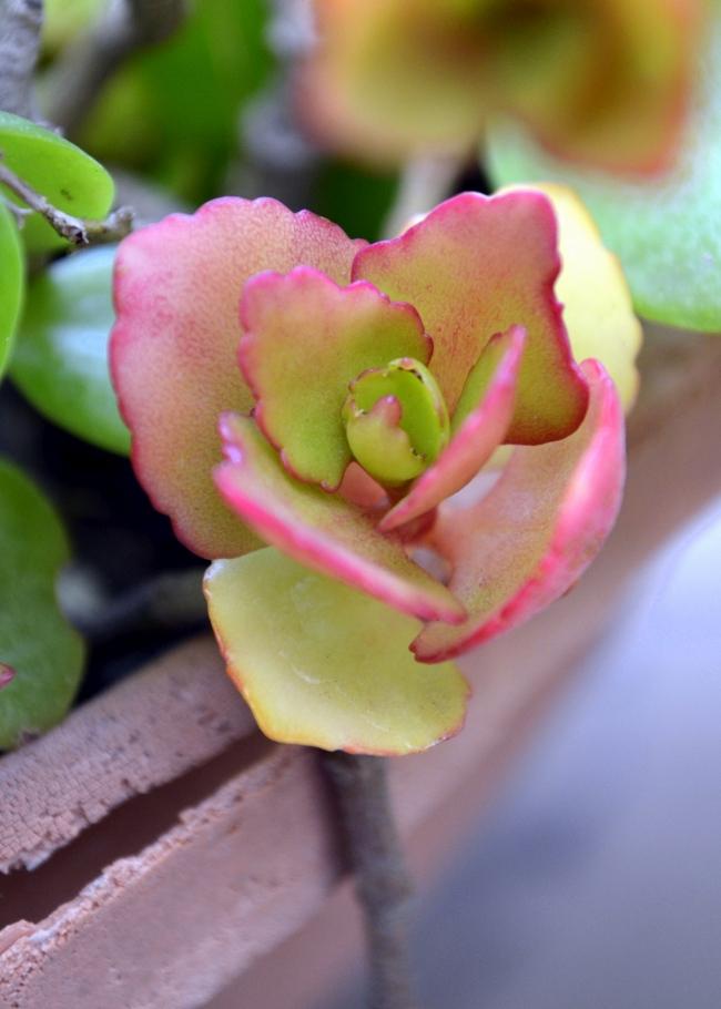 L'arbre d'argent en fleurs est un excellent compagnon pour les autres succulentes, elles s'entendent bien dans le même pot