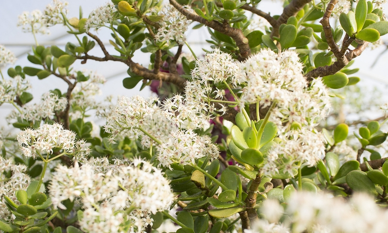 La floraison de l'arbre d'argent Crassula ovata, également connu sous le nom de méduse ovale ou méduse ovale