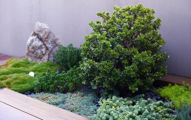 Un arbre d'argent dans une composition succulente est toujours une belle touche d'aménagement paysager pour votre jardin.