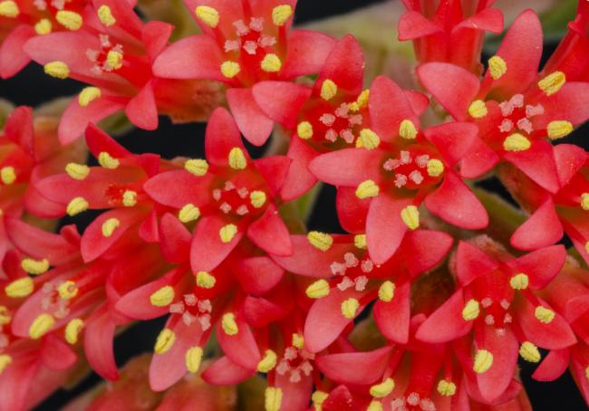 Fleurs rouge vif du saccadé en forme de croissant