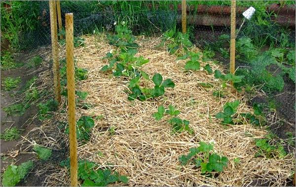 Lits de jardin : grands, intelligents, paresseux.  Photo de paillage du sol