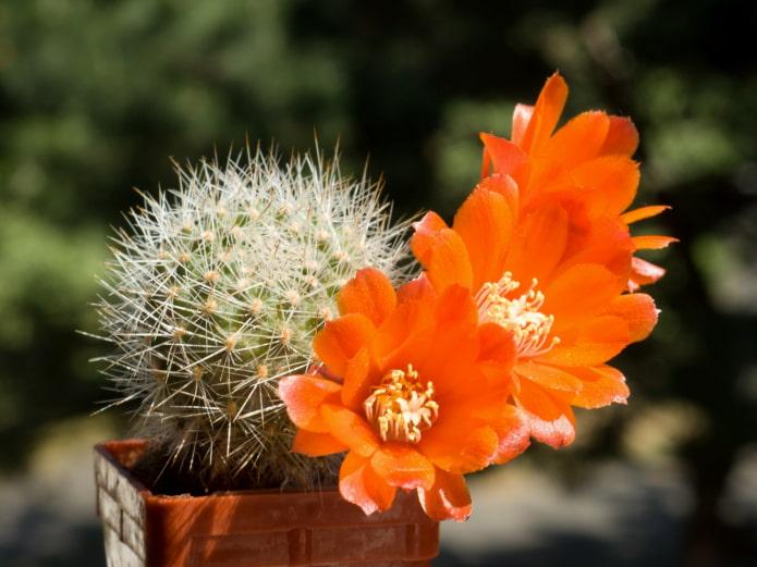 rebutia fleurit