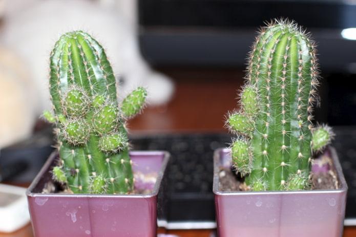 bébés cactus