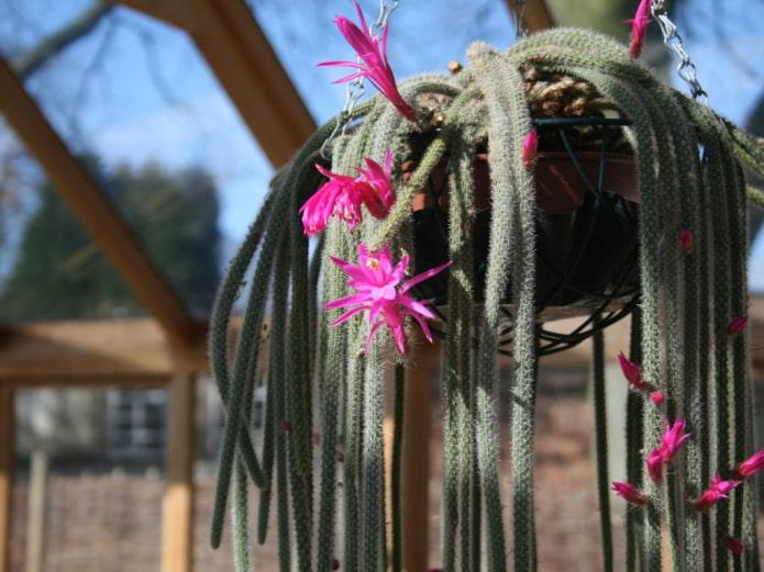 Aporocactus adulte