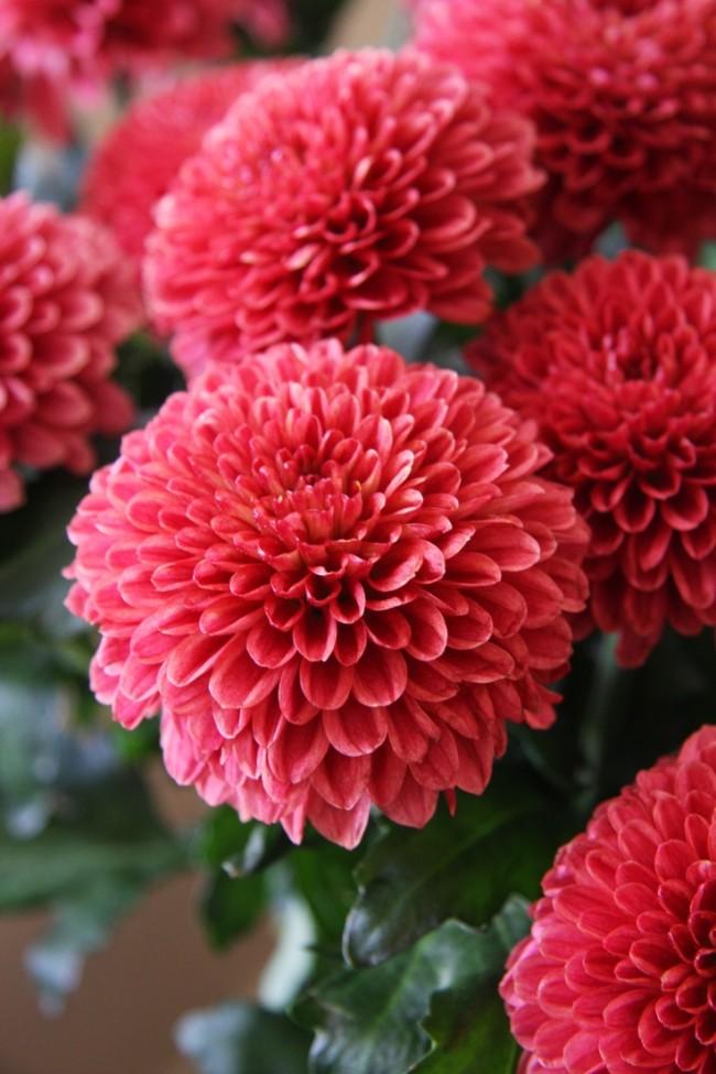 Les chrysanthèmes ne cessent d'étonner de beauté