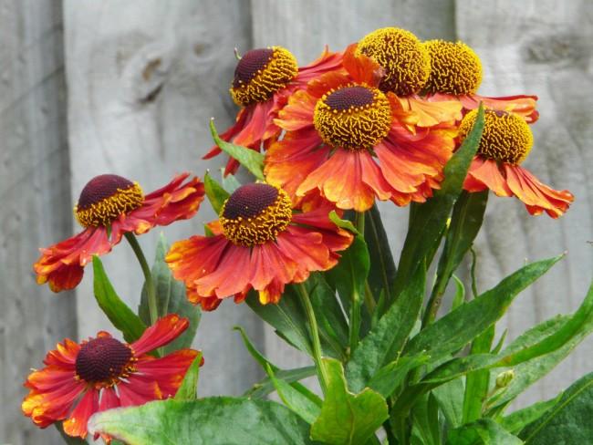 Gélénium d'automne.  Il est planté fin avril ou mai, lorsque les nuits sont déjà chaudes.  Il tolère bien l'hiver, mais a besoin d'un abri.