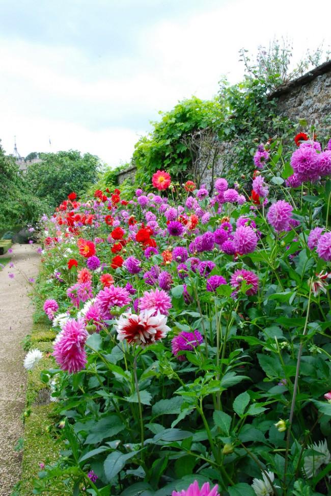 Les dahlias fleurissent en septembre et décorent le jardin jusqu'aux premières gelées