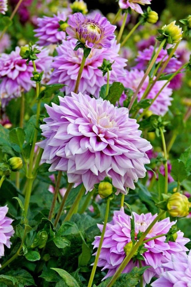 Dahlias violet cendré