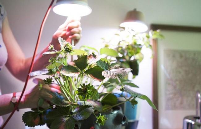 Lampe pour faire pousser des fraises à la maison