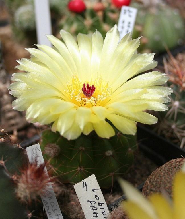 Les cactus de maison en fleurs ne donnent leur beauté qu'à des propriétaires attentionnés et attentifs.