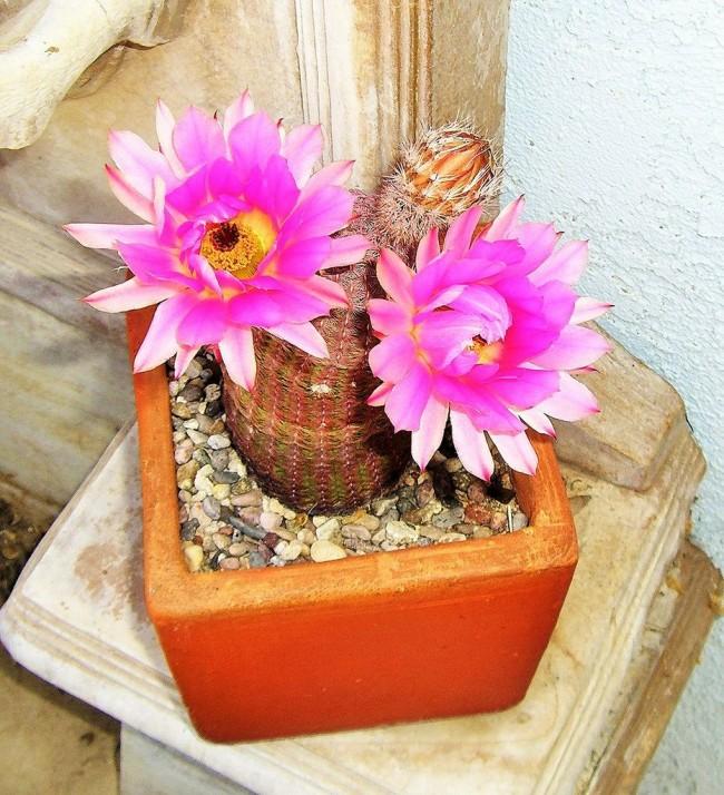 Échinocactus arc-en-ciel