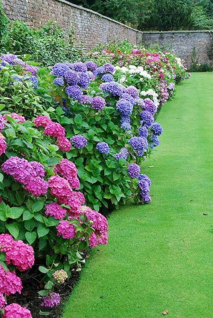 hortensia coloré le long de la clôture