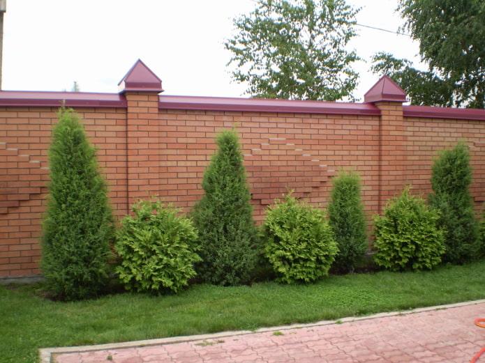 buissons hauts et bas le long de la clôture