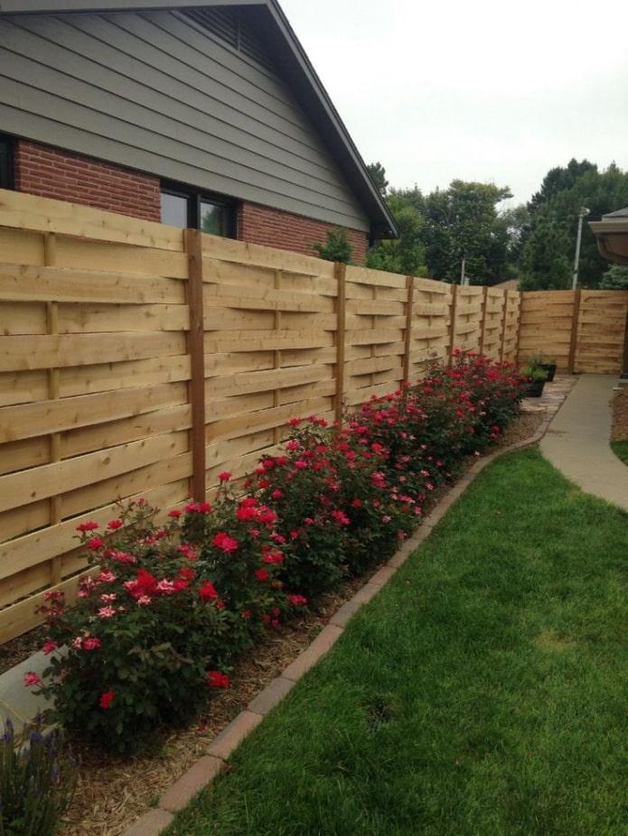 roses le long de la clôture