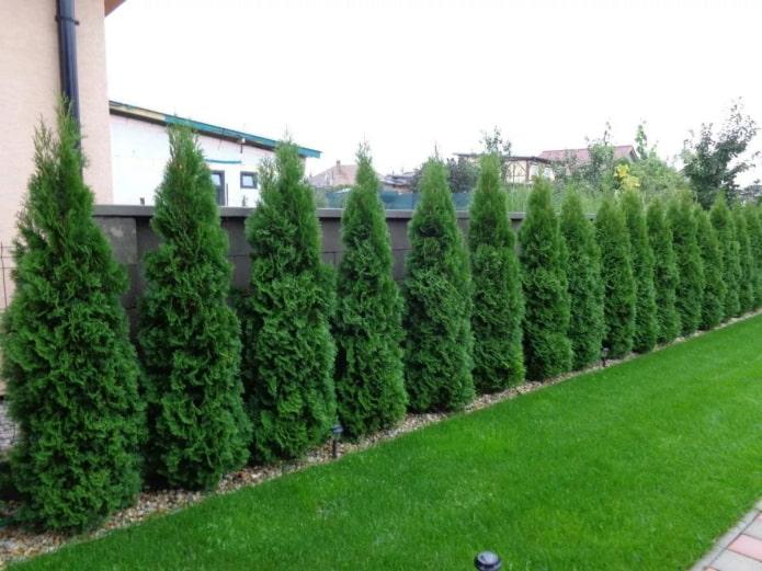 clôture de conifères